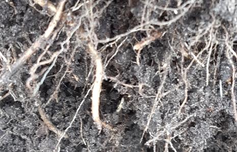 worteluiteinde kweekgras