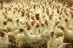 kippen industrie